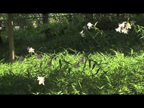 本巣市 「文殊の森」 ~ササユリ~