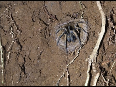 Amazing Facts About The Trapdoor Spider