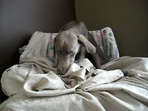 Our weimaraner - Getting Comfy is Hard Work! Video