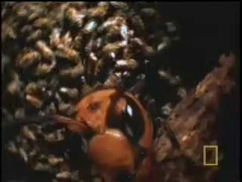 Hornets From Hell - National Geographic