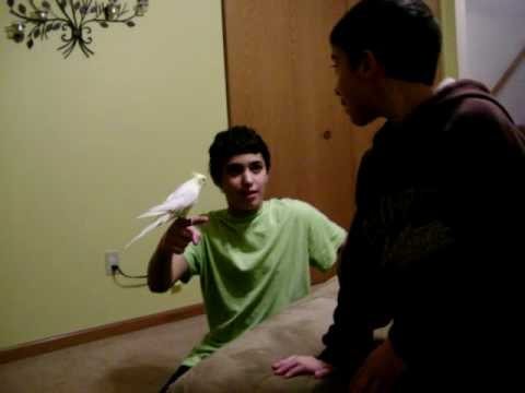 cockatiel falling Video