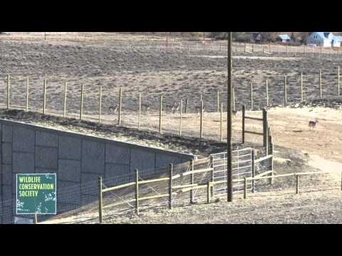 Pronghorn Cross New Highway Overpass Video   Films   Openfilm