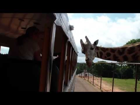 Giraffes Sticking Their Heads In The Bus At The Wild Animal Safari Park In Pine Mountain Georgia