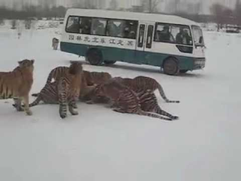 Raw Encounter with the Circle of Life at the Harbin Siberian Tiger Park