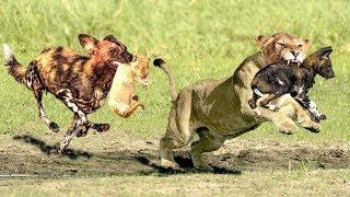 OMG!The God help Mother Lion destroy 16 WildDogs save Lion Cub - Epic Battle Of Lion Vs Wild Dogs