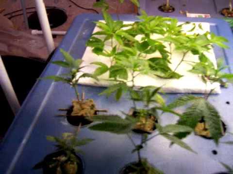 Cloning medicinal plants (CA prop215)