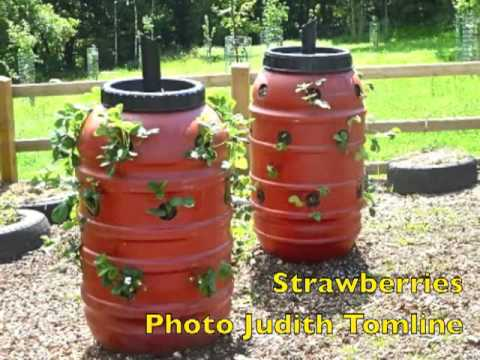 Growing plants in a barrel
