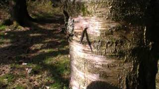 Tapping Birch Trees in March for Birch Sap - Clean Water