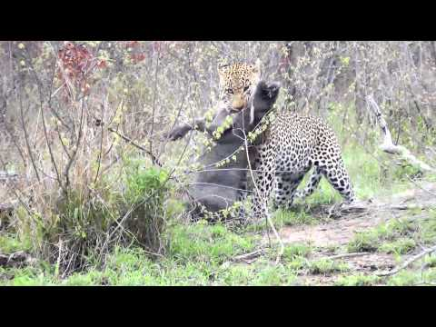 Leopard kills a Warthog at Londolozi Game Reserve