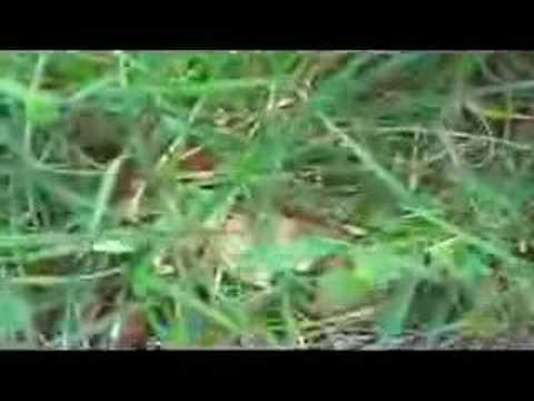 Midlake - Chasing After Deer