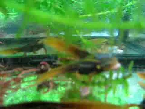 Tylototriton verrucosus (5-7 months from hatching) eating Video
