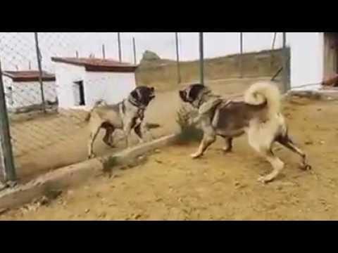 Altın Kangal Çiftliği Karo ve Tank İletişim (0546 460 71 17)
