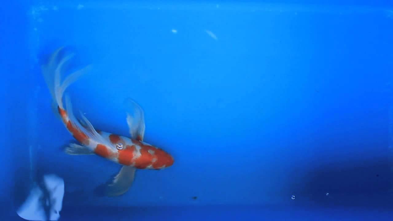 Kohaku koi carp images for Carp fish for sale