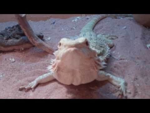 The Famous Bearded Dragon 