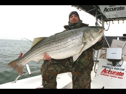 Striped bass fishing with planer boards chesapeake bay for Chesapeake bay striper fishing