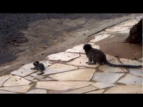 Mãe sagui tenta salvar filhote que caiu da arvore