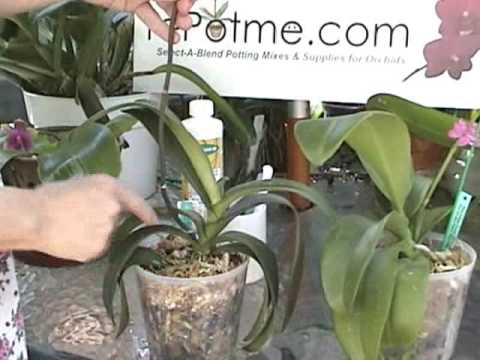 Orchid Care Cutting Spikes On A Phalaenopsis From