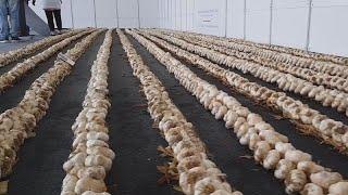 Watch: Greek woman breaks world record for longest garlic braid