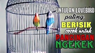LOVEBIRD UNTULAN / KOLONI PALING BERISIK | cocok buat pancingan Ngekek