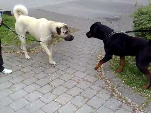 Pitbull Dog Bite Force