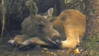The Best Moose Documentary EVER.
