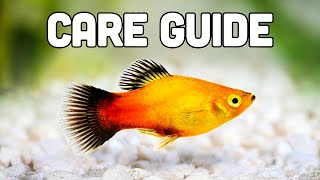 Platy Fish Care Guide (aka My Favorite Livebearer for Beginners)