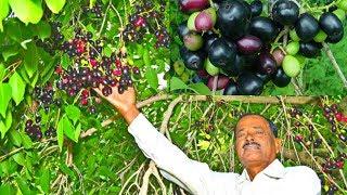 మీకున్న పనులు వదిలేసి వెంటనే ఈ వీడియో చూడండి! || Neredu Chettu Plant Uses