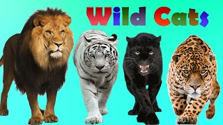 Wild Cats Finger Family | Lion, Lioness, Tiger, Panther, Jaguar | Wild Animals Finger Family Rhyme