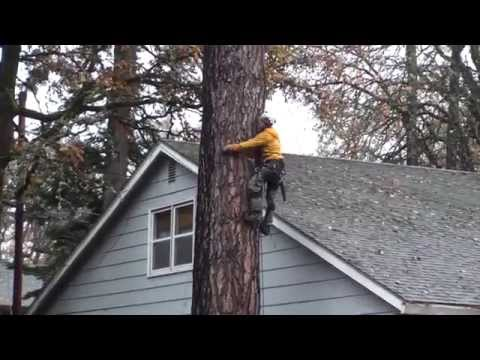 Pine Tree Removal  Part 2