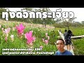[ ดอกกระเจียว | ชัยภูมิ ] พาเที่ยวเทศกาลทุ่งดอกกระเจียว 2561 ( Siam Tulip - Thailand 2018 )