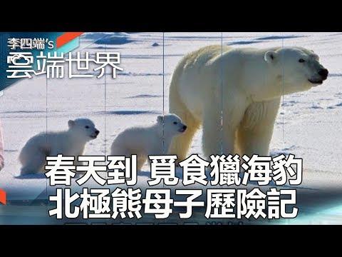春天到 覓食獵海豹 北極熊母子歷險記 part4-李四端的雲端世界