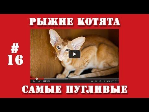 Видео приколы   #16   Рыжие котята самые пугливые.