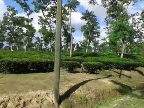 Tea garden,plucking tea leap