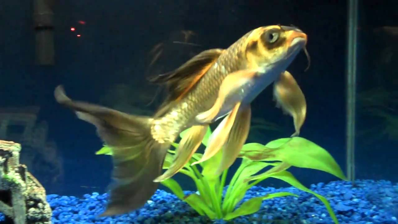 Butterfly koi youtube for Butterfly koi fish aquarium