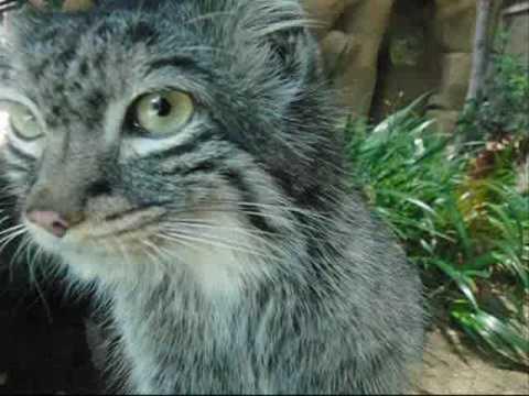 ペッキー (王子動物園のマヌルネコ)