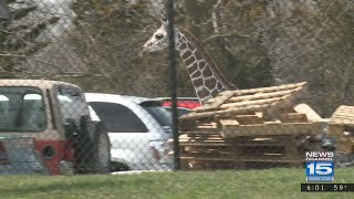 Giraffe captured after escape from Fort Wayne zoo exhibit