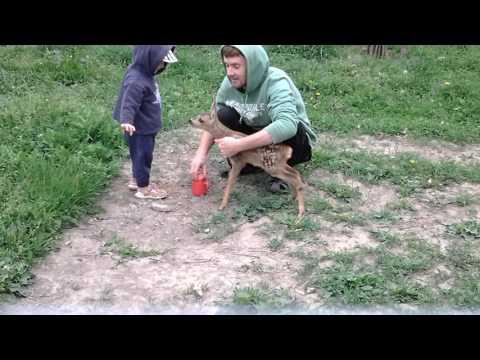 Как я спас маленькую дикую косулю и кормил с пипетки!