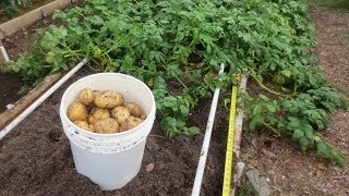 Yukon Gold & Red Potato Harvest: The Harvest That Never Ends