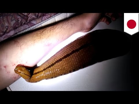 Giant pet leech: Owner gives parasitic pet its daily dose of blood straight from his arm