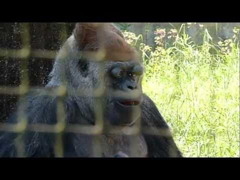 浜松市動物園のゴリラのショウ君4