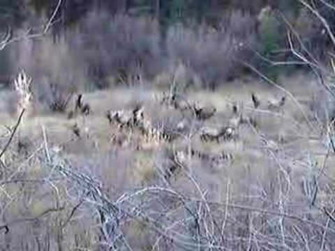 Elk Mating Season And Calls