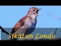 Kicau Burung Sikatan Londo Gacor Full Tembakan mp3