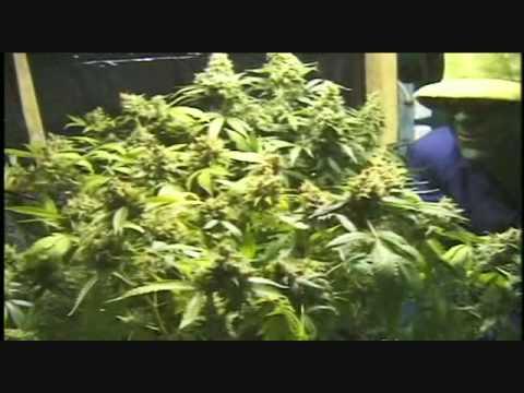 Mr Green Cultivando Marihuana (MOTA) Parte 9 DE 9