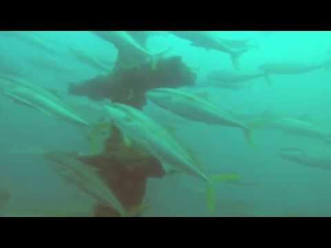Yellowtail kingfish spiral around offshore recreational fishing reef