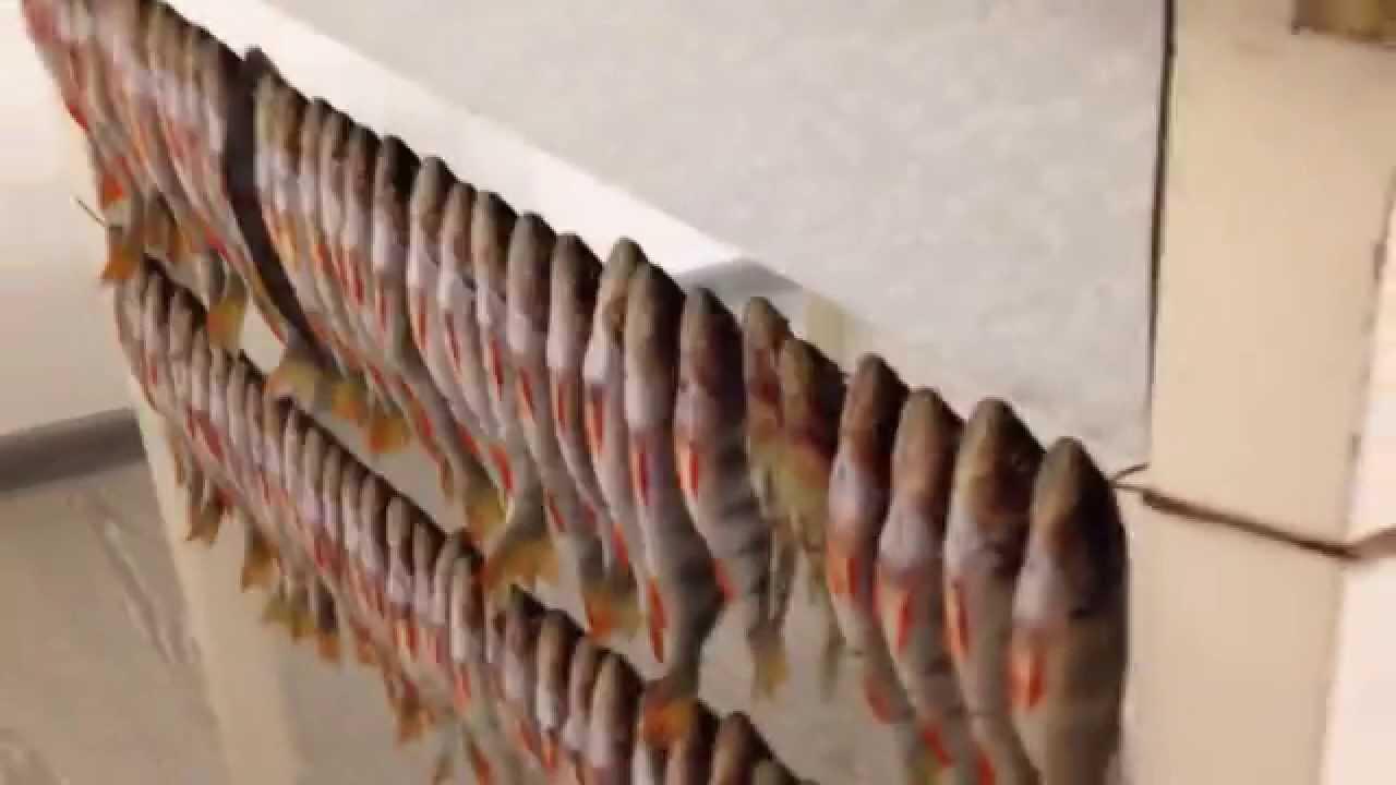 Как сушить рыбу в домашних условиях летом без мух 835