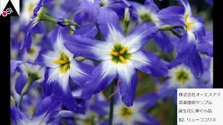 誕生花に捧ぐ小品 82  リューココリネ