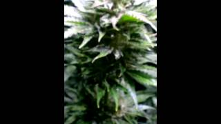 Medical Cannabis During Flowering from Previous Grow