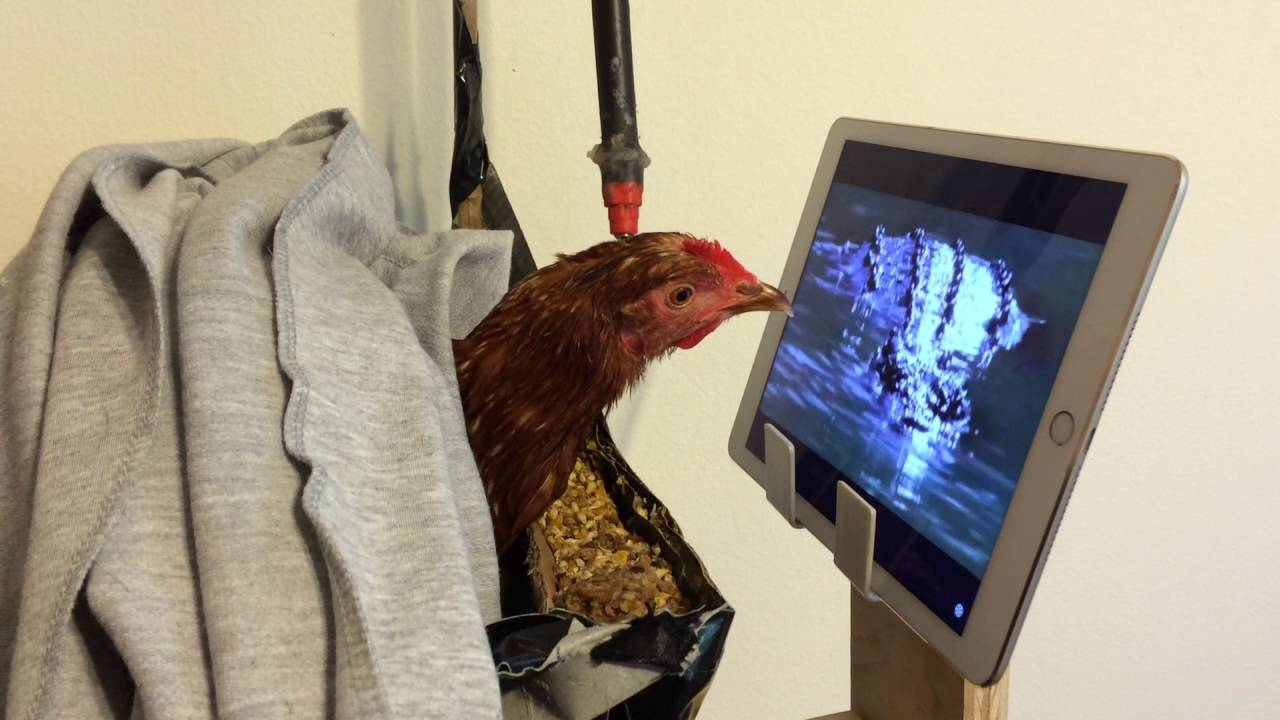[Rescued Hen Intently Watches National Geographic While Recovering From Injury] Video