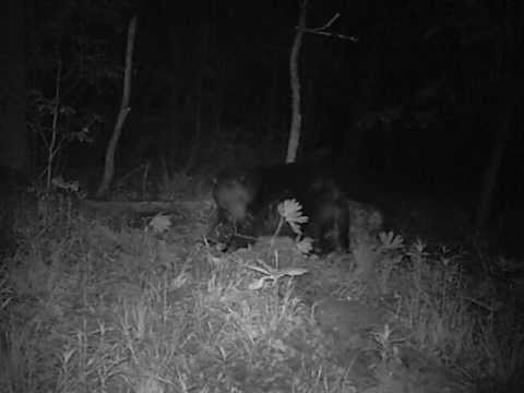 Big male black bear scent marking with his side