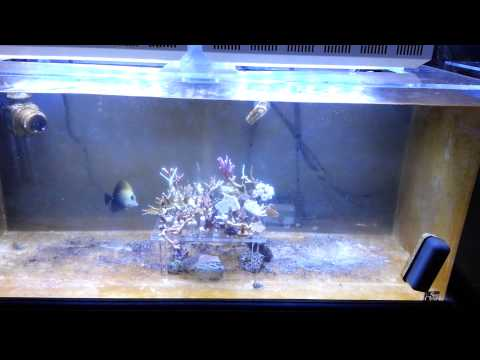 Saltwater Myreefliving Reef and Fish Tanks (5-21-13 frag Tank update some changes)